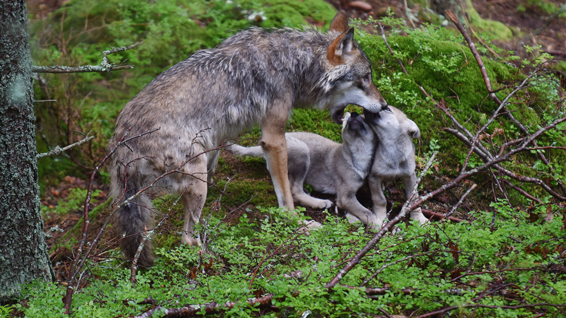 North Carolina governor asks federal government to save red wolves