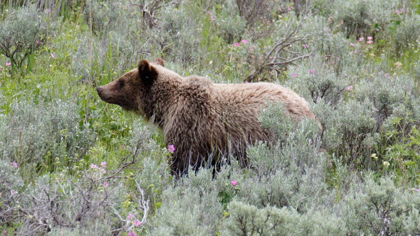Reintroducing grizzlies to California