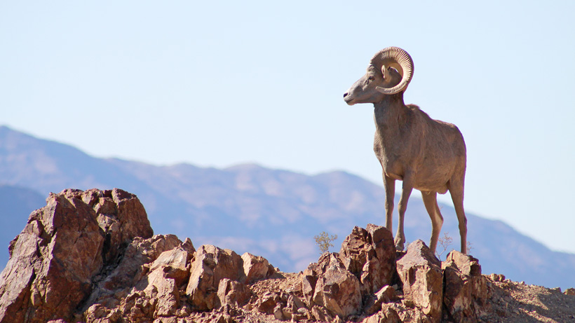 51 Bighorn Sheep Relocated From Nevada To Utah Gohunt