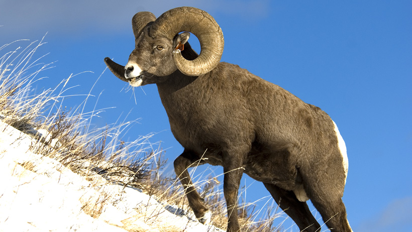 Rocky bighorn sheep on ridge