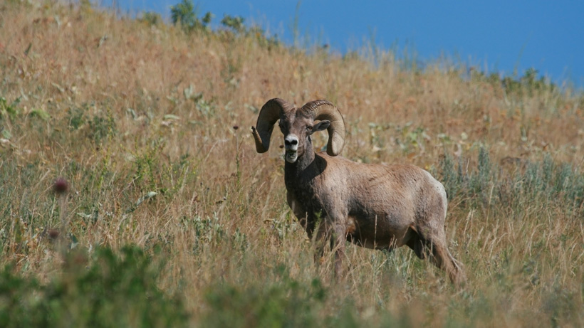 South Dakota Bighorn Sheep