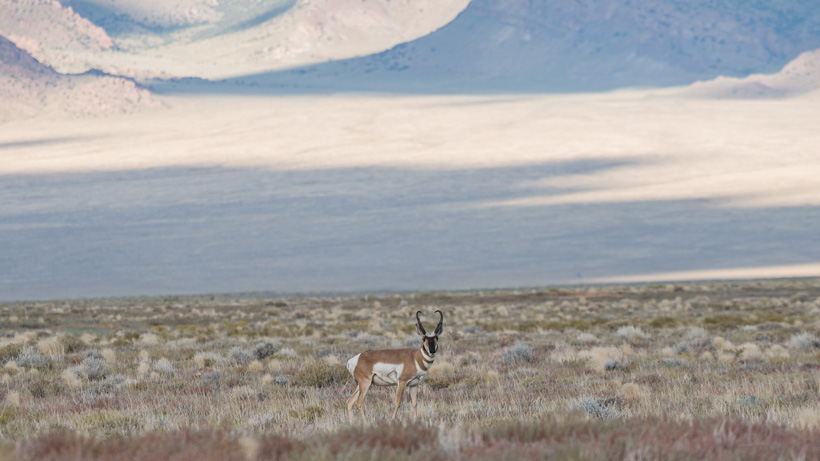 Scouting photo of an antelope buck