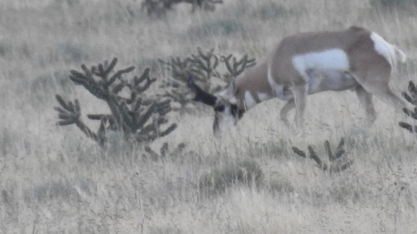 Scouting photo of an average sized antelope buck