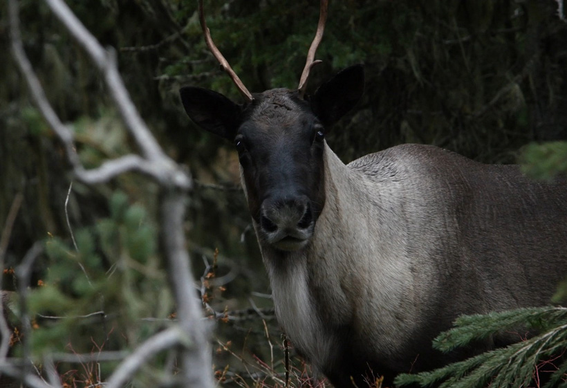 Selkirk mountain caribou photo close up