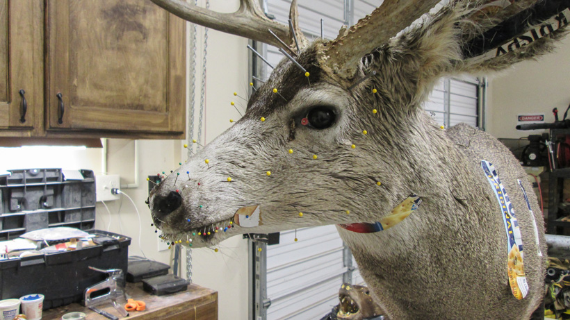 Setting the hide on a deer mount