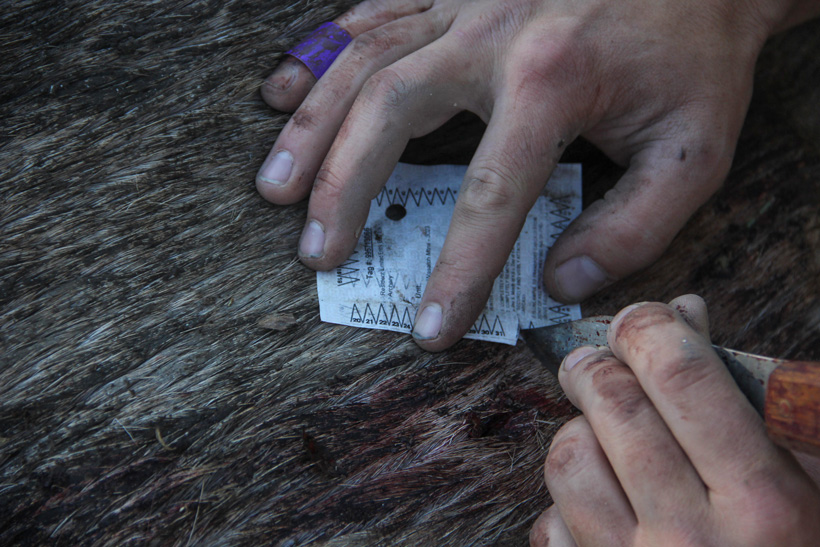 Shane Southwick cutting out his elk tag