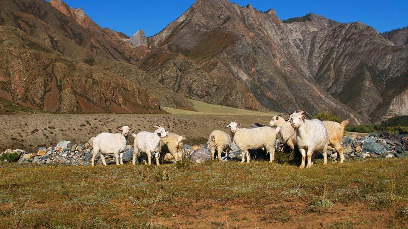 Sheep grazing in Montana