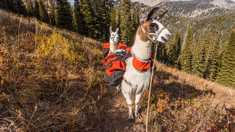Six reasons why llamas are the ultimate pack animal for hunting