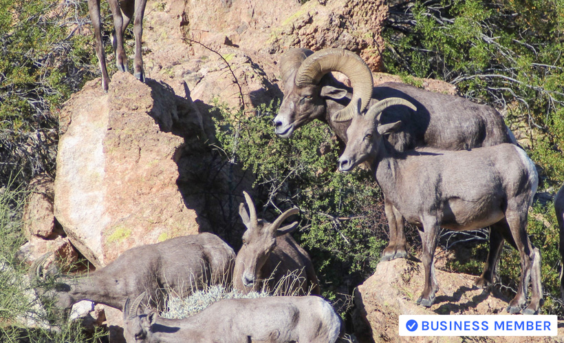 Six year old bighorn sheep ram with ewes