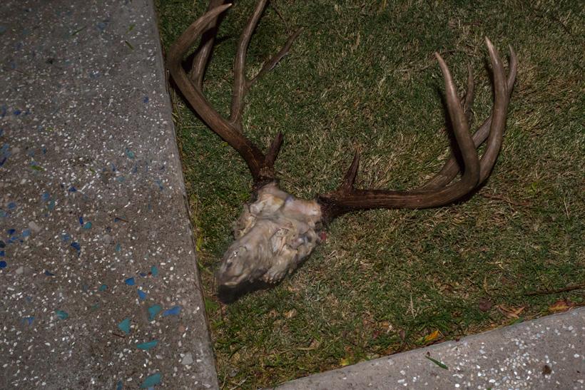 Deer skull after 1st simmer