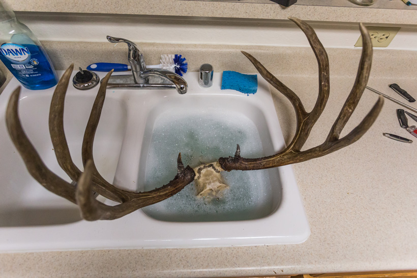 Diy taxidermy european skull mount gohunt skull in hot soapy water solutioingenieria Image collections
