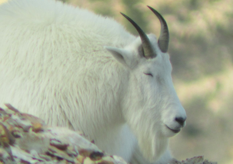 Sleeping mountain goat
