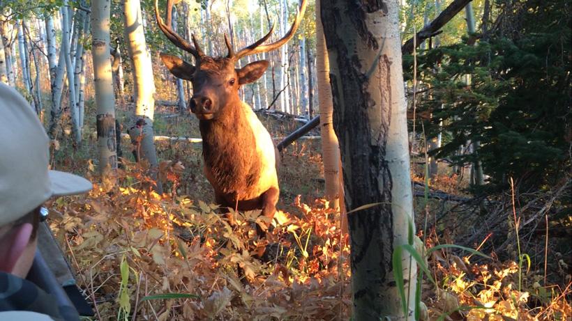 Small bull elk called in to three feet in Utah