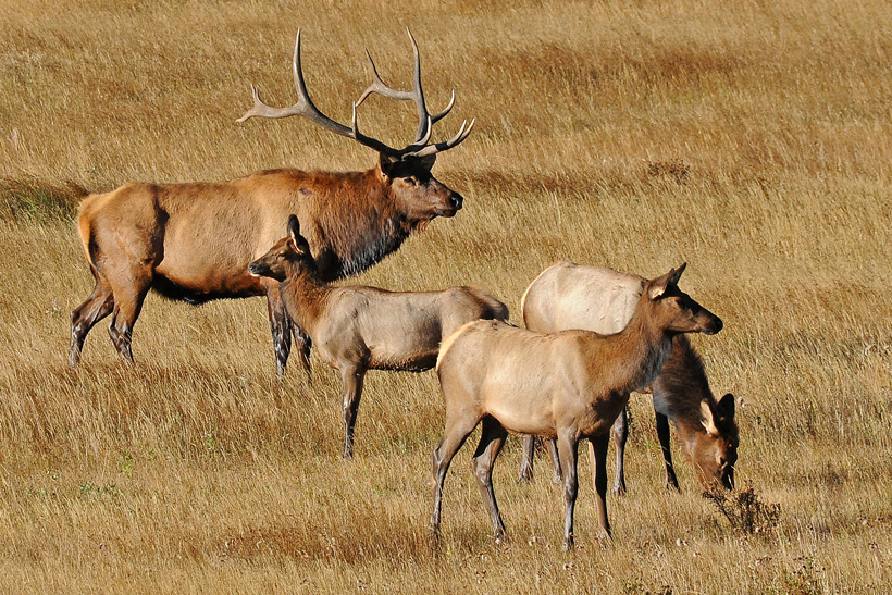 Small group of elk