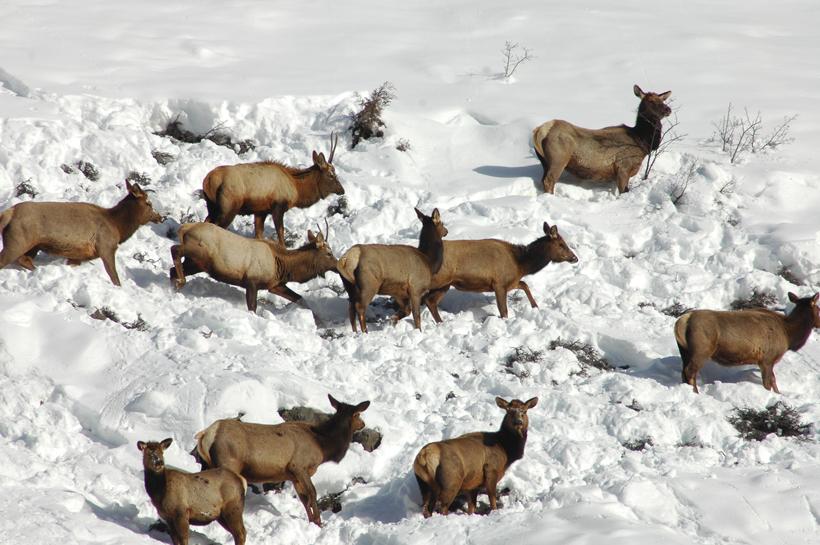 Small herd of elk