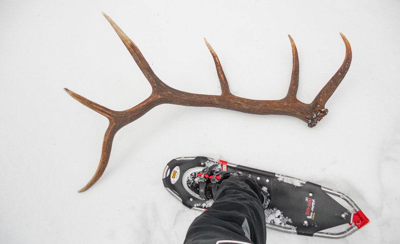 Snowshoeing for elk shed antlers
