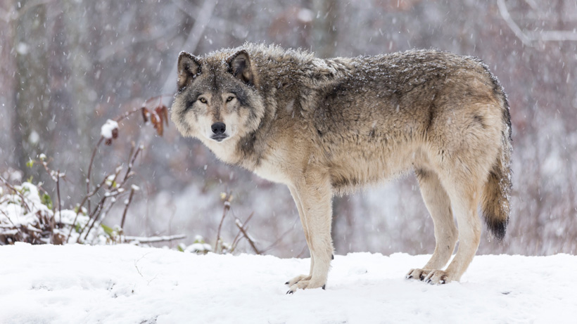 Solo wolf in snow