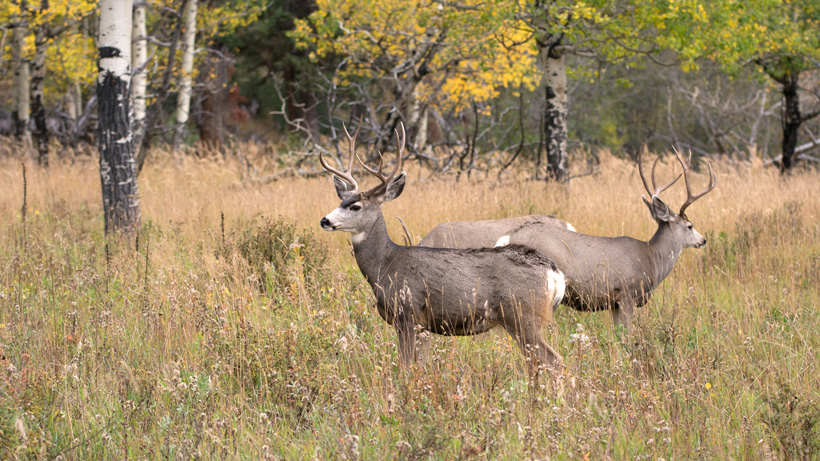 South Dakota mule deer
