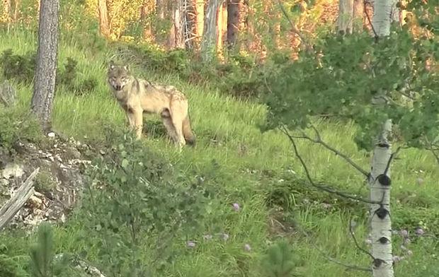 South Dakota wolf sighting