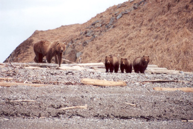 Sow brown bear and three cubs