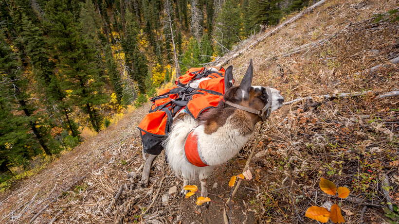 Steep terrain and llamas while hunting