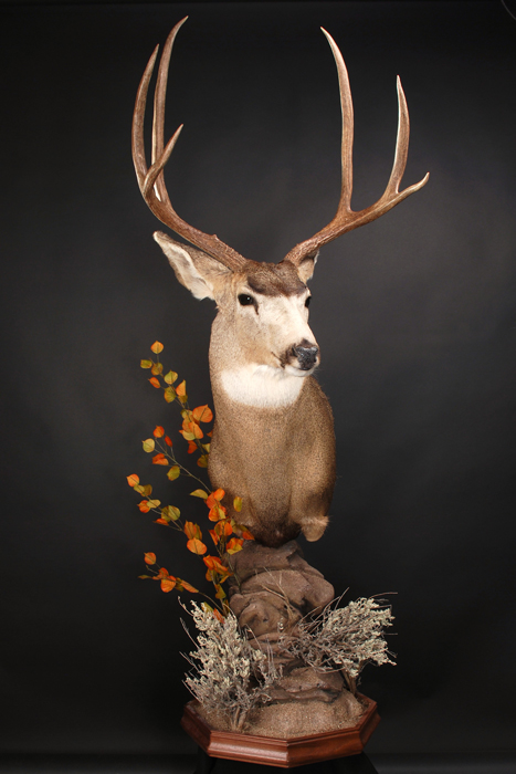 Stephen Spurlock mule deer mount