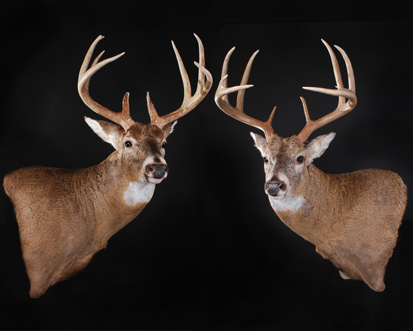 Stephen Spurlock whitetail buck mounts