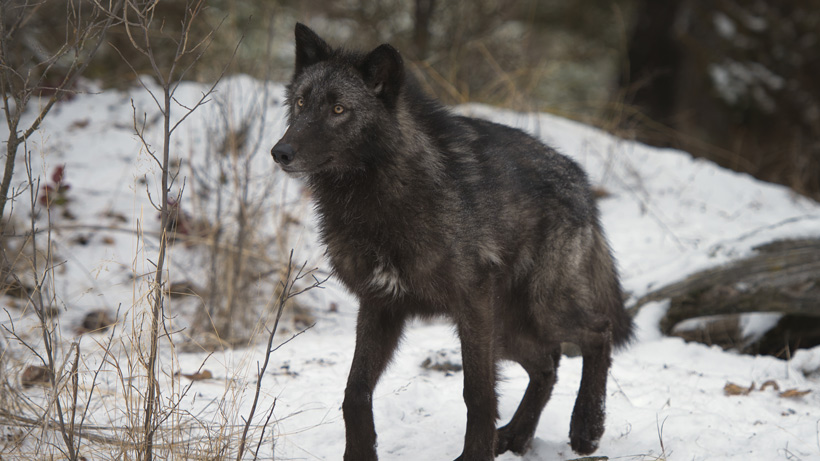 Strange Montana wolf identity confirmed