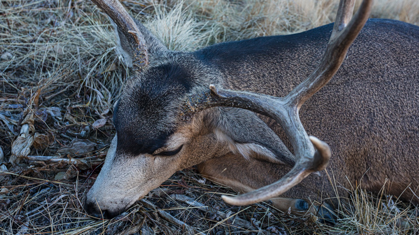 Summer mule deer scouting for late fall hunting success