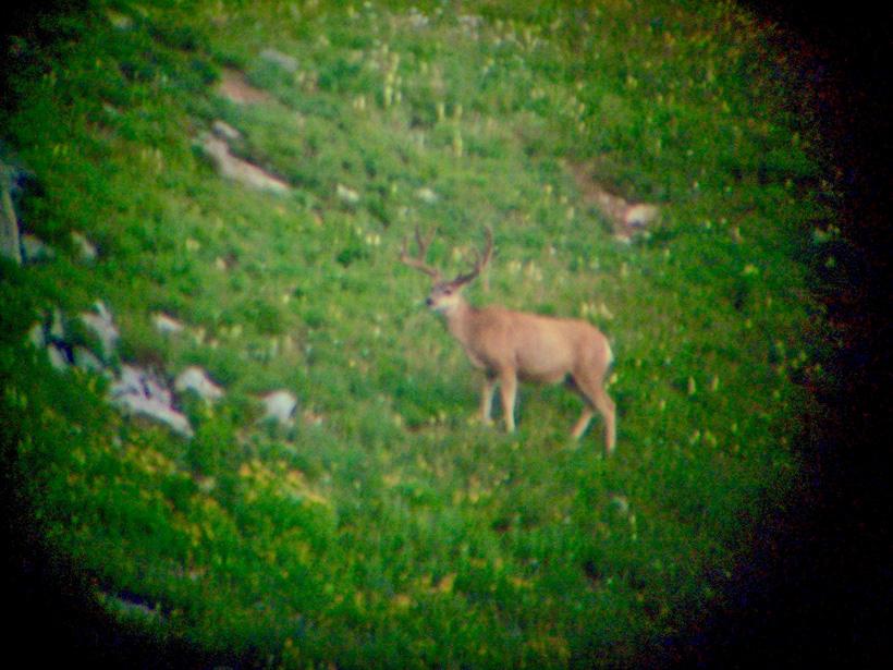 Summer scouting for mule deer