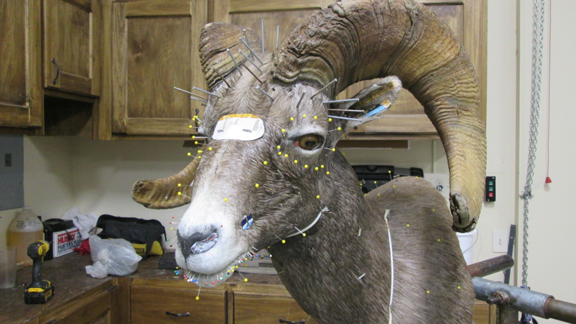 Taxidermy work on a sheep mount