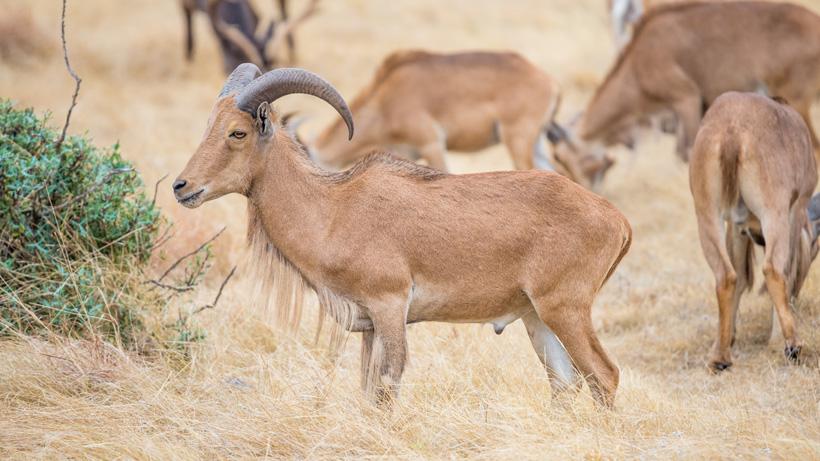 Texas barbary sheep
