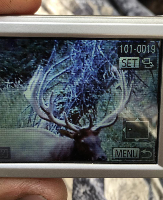 That moment when you get a giant bull on trail camera