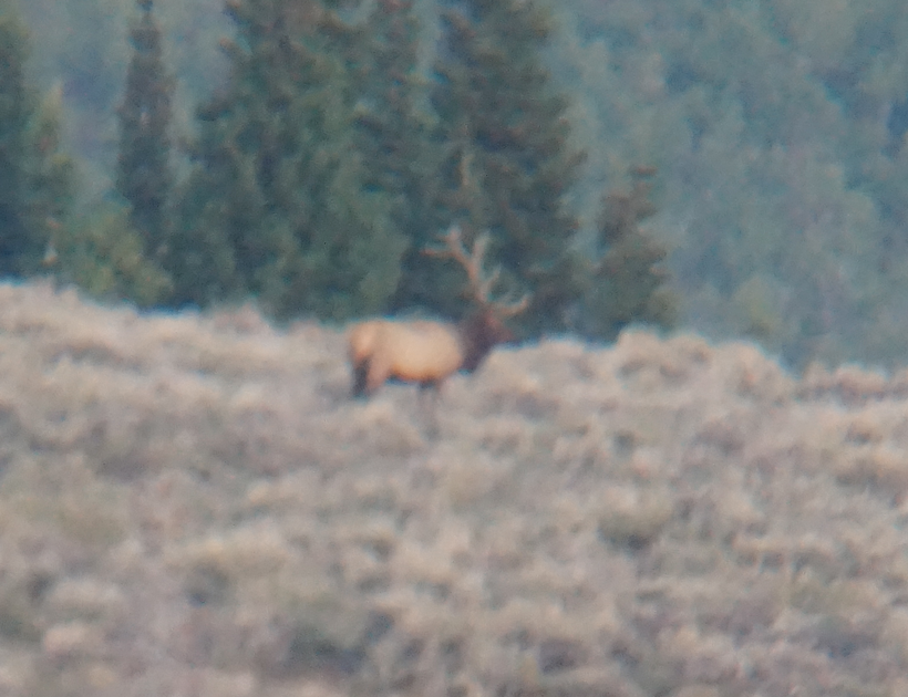 The other big bull elk