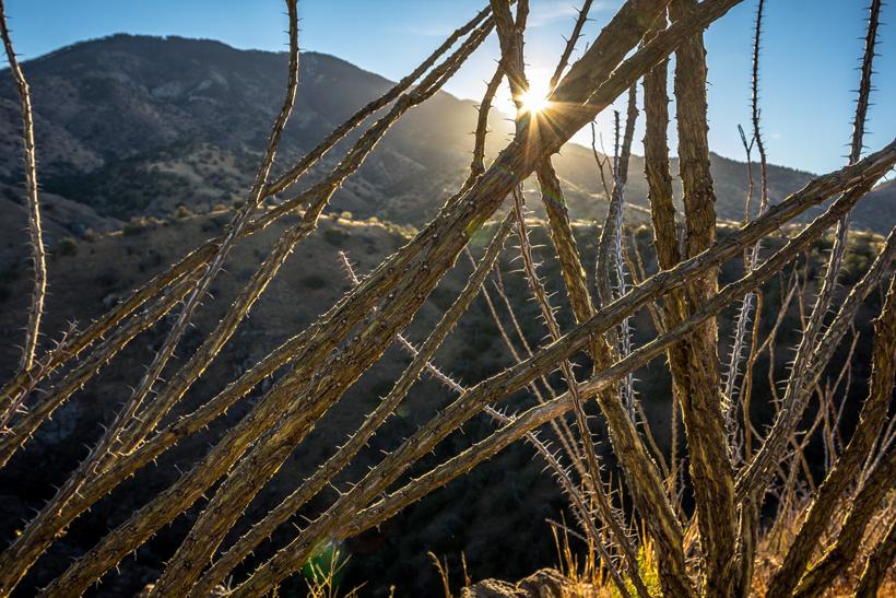 Thorny ocotillo plants