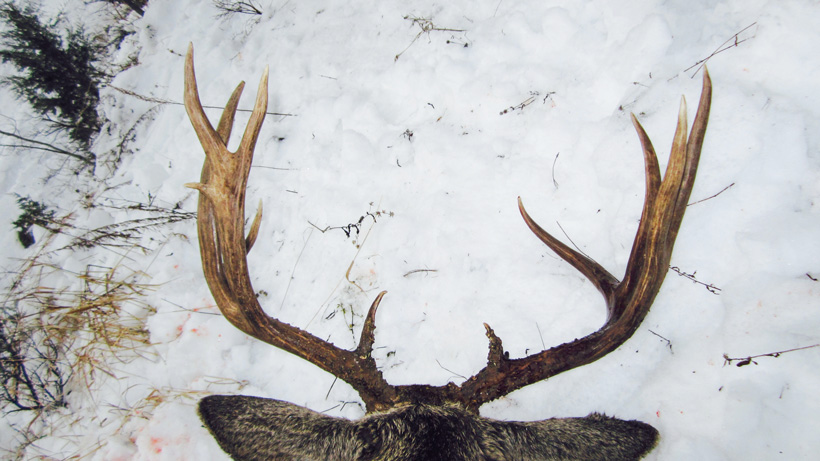 Top and back view of Jeremiah Blain mule deer buck