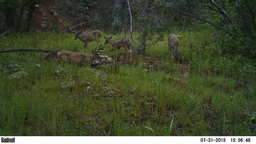 Trail camera photo of Arizona Coues deer