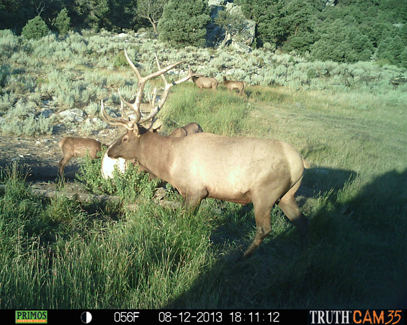 Smaller 5x6 bull elk on a trail camera