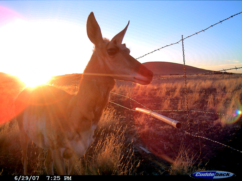 Trail camera photo of antelope crossing fence