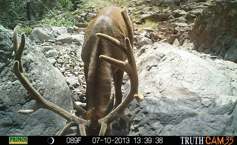 Trail camera photo of elk drinking from a water hole
