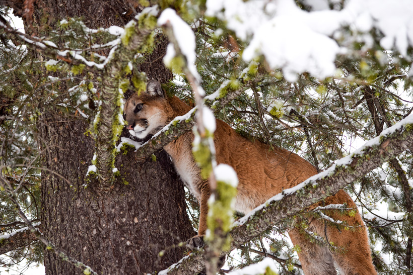 Treed mountain lion in Montana