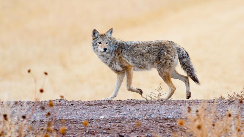 Wyoming coyote study