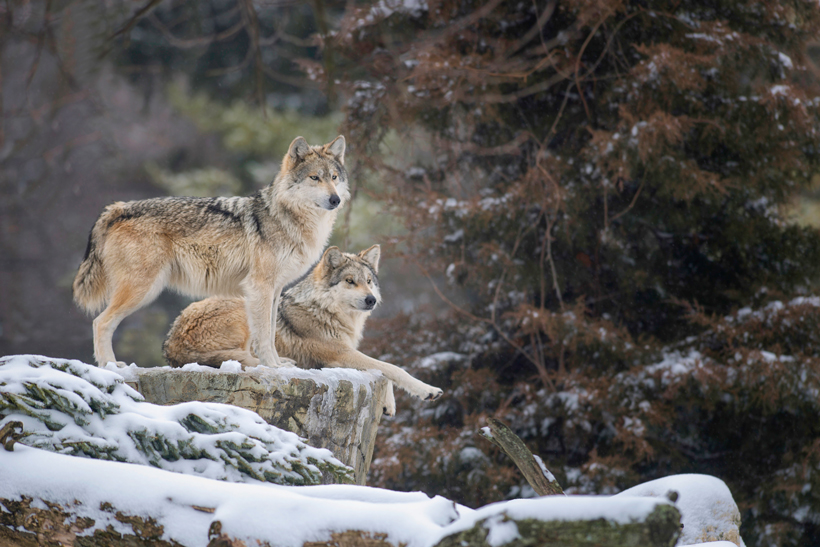 Pair of Mexican gray wolves