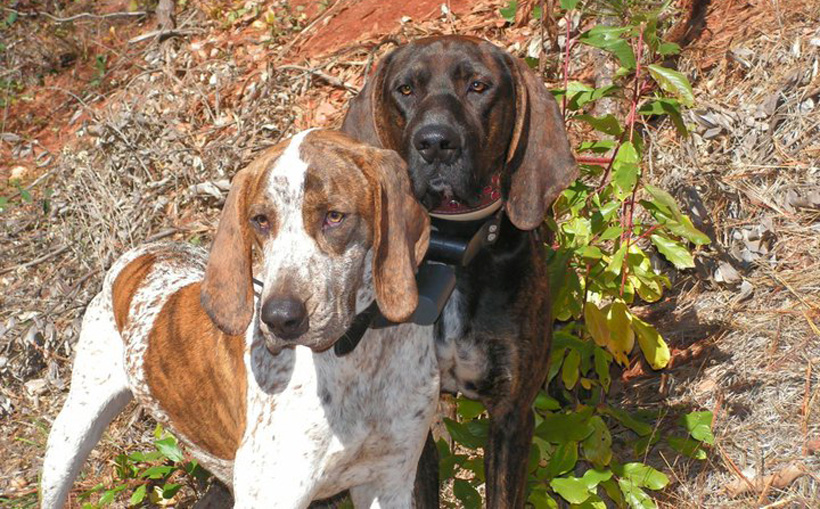 Two bear hunting hounds