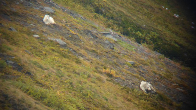 Two bedded mountain goats