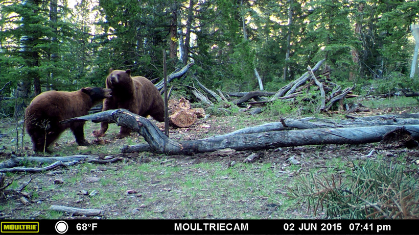 Two black bears on trail camera