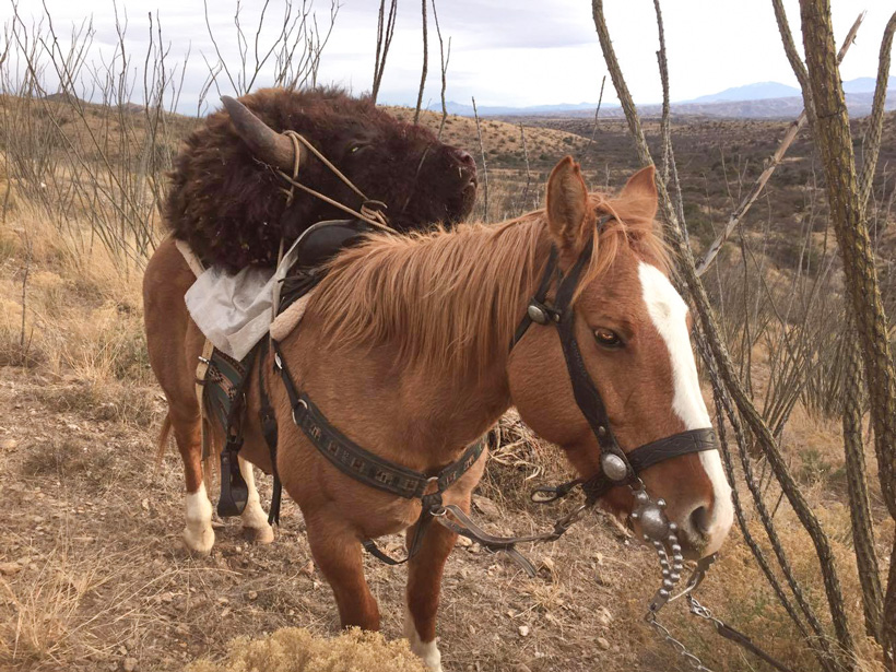 Using horses to pack out the bison meat and hide