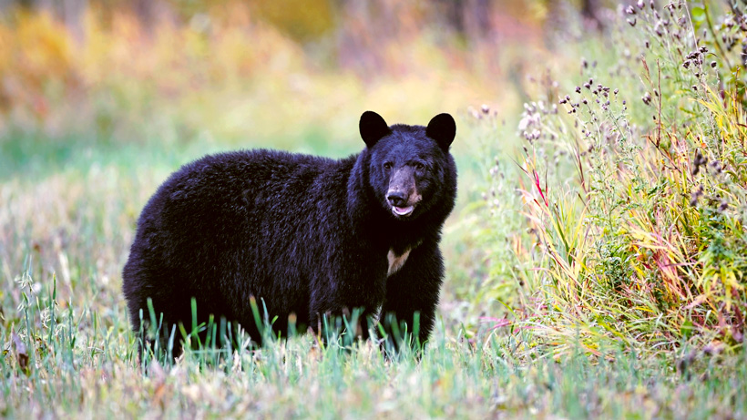 Utah allows return of bear and turkey permits due to covid 19
