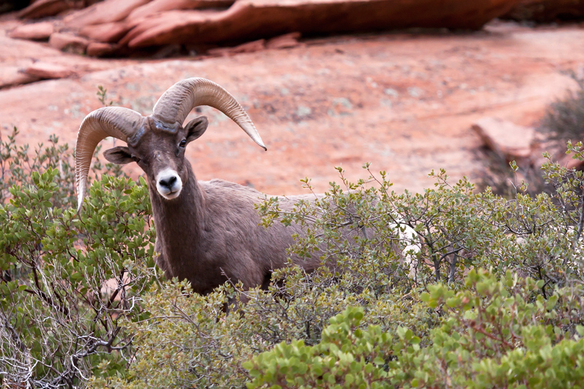 Utah bighorn sheep