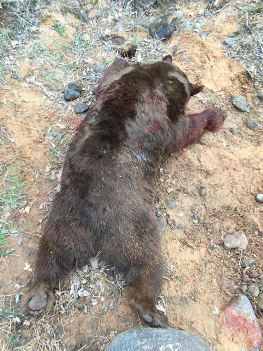 Utah black bear after the fall